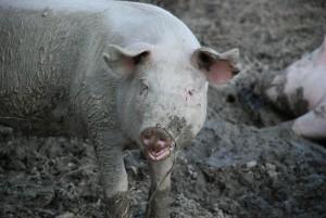 pigs-480253_1920